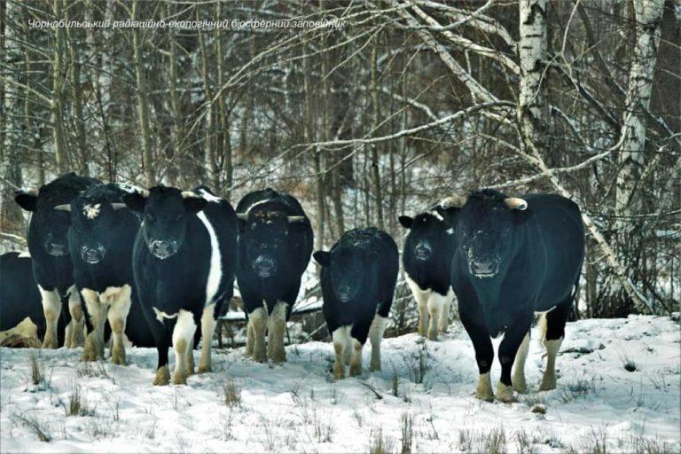 Le mucche selvatiche di Chernobyl si sono unite in mandria e organizzate